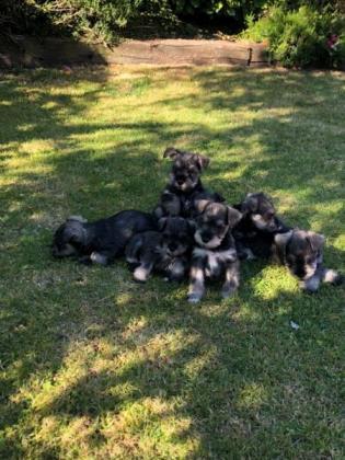Stunning Miniature Schnauzer puppies, KUSA registered, Vaccinated & Vet checked
