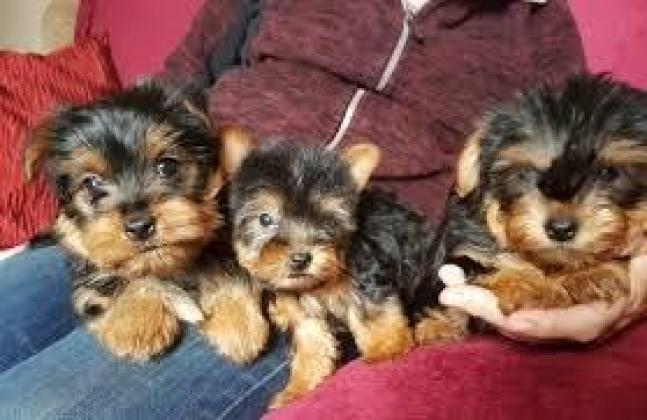 Tea Cup Maltese and Yorkie Puppies for sale