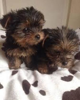 Tea Cup Maltese and Yorkie Puppies for sale in Johannesburg, Gauteng