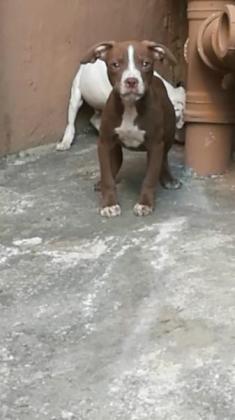 Through breed American pitbull Terrier pups