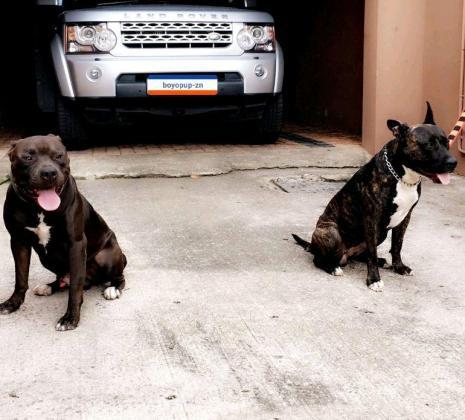 Through Breed Pitbull Brindle Puppies