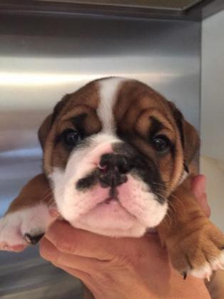Vaccinated English Bulldog Puppies for sale in Kingsburgh, KwaZulu-Natal