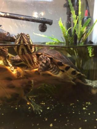 Yellow Belly Turtles in Bedfordview, Gauteng