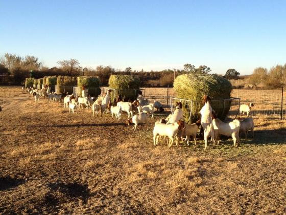 Young And Full grown Boar Goats for sale in Jansenville, Eastern Cape