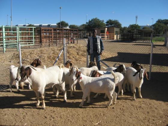 Young And Full grown Boar Goats for sale