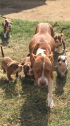 3 beautiful pitbull female puppies left - 8 weeks old - ready for new homes