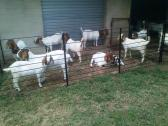 Flocks of Boer Goats and sheeps available