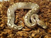 Hatchlings ball pythons for sale