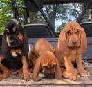 Healthy Champions bloodhound puppies!