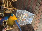 lovely 17weeks old hand raised macaw for sale