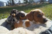 Miniature Dapple Dachshund Puppies For Sale