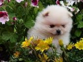 Pomeranian puppies for sale Toy pom