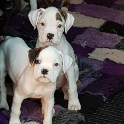 Beautiful Boxer Puppies for sale