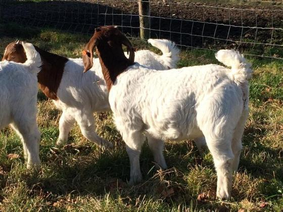 Cattle, boer goats and sheep for sale