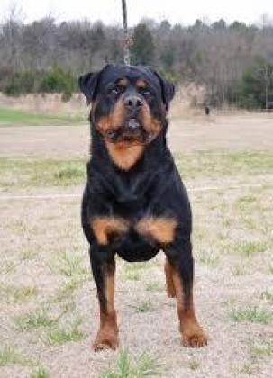 Guenuine Rottweiler pups for sale in Pinetown