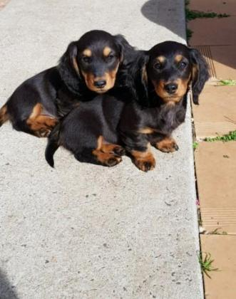Miniature Dauchund Puppies(Long Haired)
