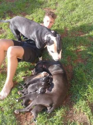 Thourogh bread American Pitbull Puppies for sale