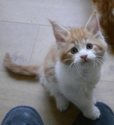 Beautiful Maincoon Kittens For Sale