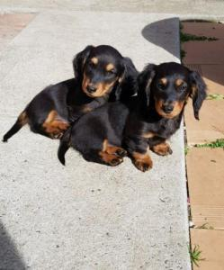 Miniature Dauchund Puppies(Long Haired)