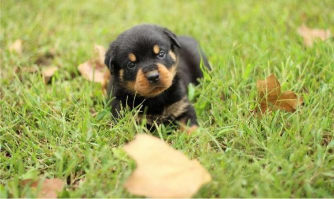 Adorable KUSA Registered Rottweiler puppies for sale in Embalenhle, Mpumalanga