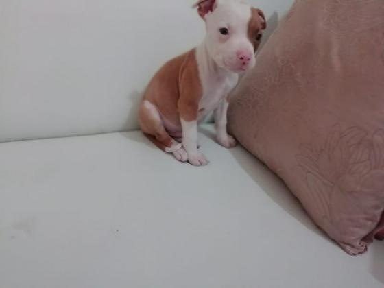 American Pitbull Terrier. Vaccinated, Dewormed& Microchiped - September