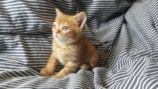 Beautiful Bsh Kittens! Ready To Reserve! in Graaff-Reinet, Eastern Cape