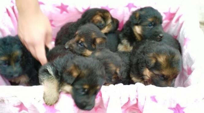 Beautiful German Shepherd puppies.