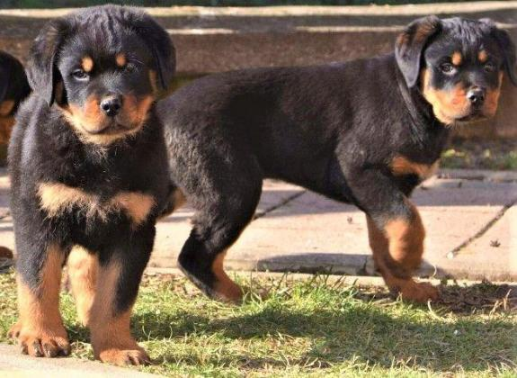 Big Boned Rottweiler Puppies For Sale