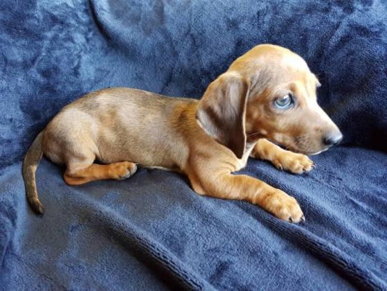 Miniature Smooth Dachshund Puppies