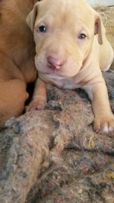 Purebred Pitbull pups for sale!!! in Ladysmith, KwaZulu-Natal