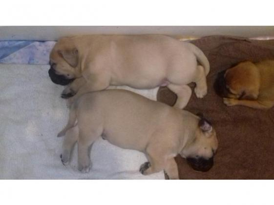 Red / Fawn Bullmastiff Puppies