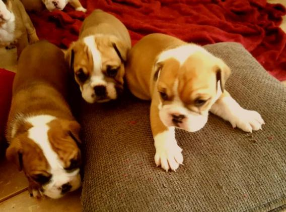 Stunning English Bulldog babies!