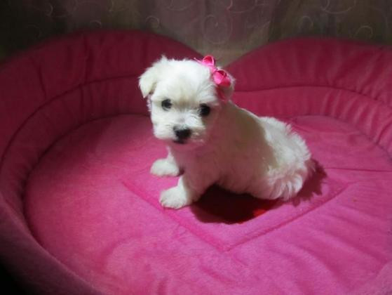 Stunning Miniature Maltese Puppies