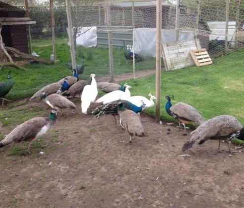 Peacocks And Peahens For Sale. in Roodepoort, Gauteng