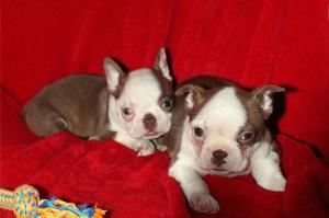 KUSA Affectionate Boston Terrier Puppies for sale