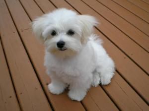 Make and female Maltese puppies for sale