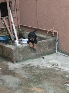 Microchiped Large head Rottweiler Pups
