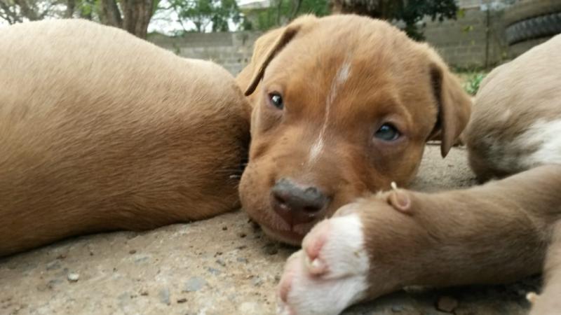 Purebred Pitbull Pups For