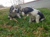 Marvelous beagle puppies for sale