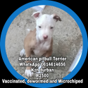 Microchiped, vaccinated and dewormed American pitbull Terrier