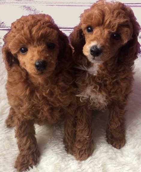 Toy Poodle Puppies   Pretoria-Tshwane   Public Ads Miniature