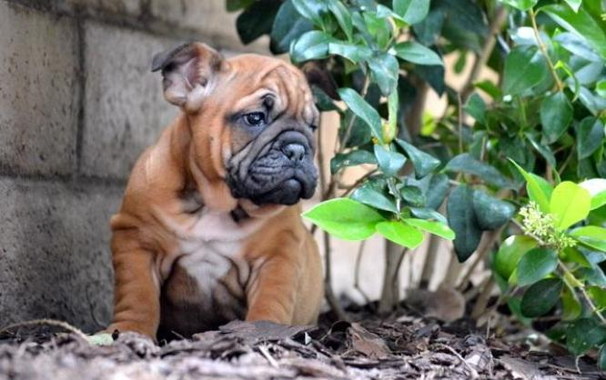 8 Weeks Old English Bulldog Puppies in Cape Town, Western Cape