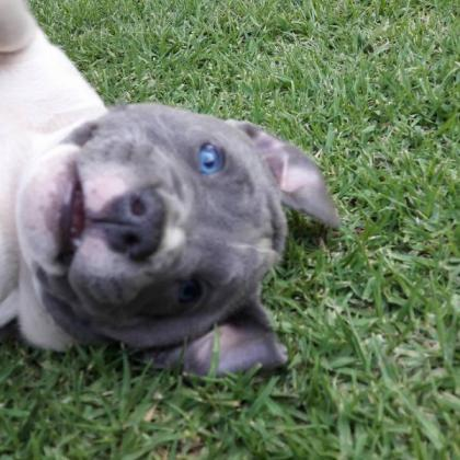 Amstaff puppies for sale - Blue and Black in Bloemfontein, Free State