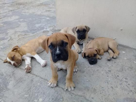 Boerboel Puppies R3000