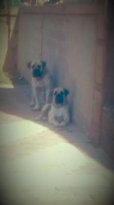 Boerboel puppies in Pretoria North, Gauteng