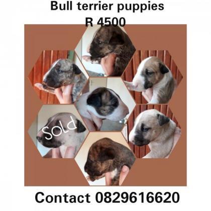 Bull terrier puppies in Rustenburg, North West