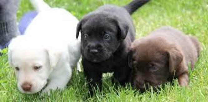 Excellent Labrador Puppies  for sale in Johannesburg, Gauteng