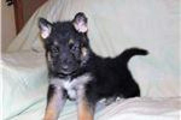 German Shepherd puppies for sale in Cape Town, Western Cape