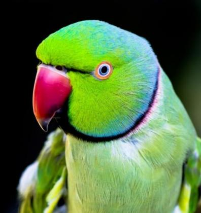 Male Indian Ringneck Wanted
