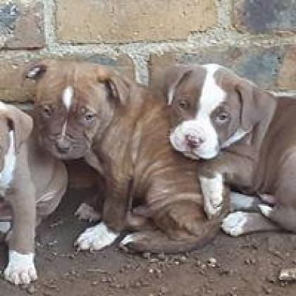 Registered Pure Bred Pitbull Puppies